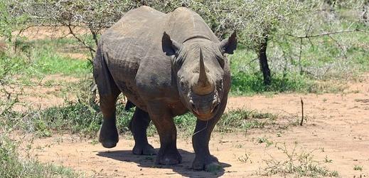 Nosorožec černý.