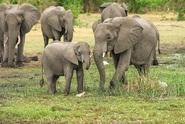 V Botswaně přibývá mrtvých slonů, příčina není jasná