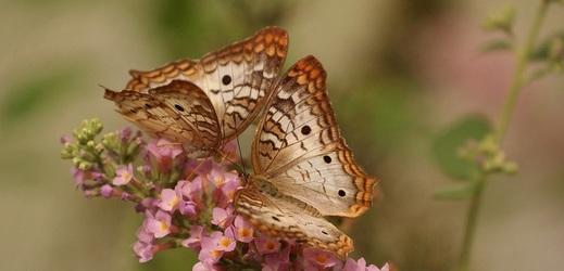 V centru Brna se otevře exotická výstava motýlů.