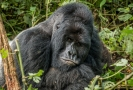 Gorila horská.