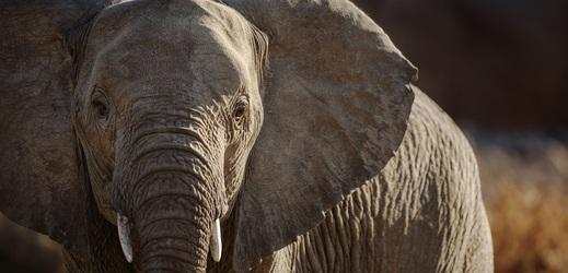 Smrt stovek slonů v Botswaně mohly způsobit přírodní toxiny.
