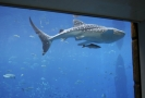 Žralok obrovský.