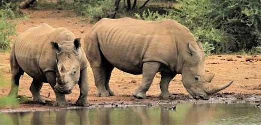 Nosorožec bílý.