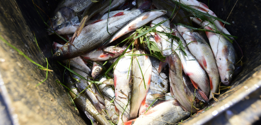 Uhynulé ryby (ilustrační foto).