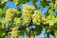 Podle vinařů bude letošní sklizeň hroznů spíš průměrná