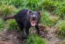 Tasmánské čerty čeká návrat do australské divočiny.