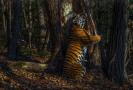 Gorškovova fotografie s názvem Objetí zachycuje vzácného tygra ussurijského.