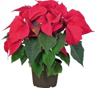 Pryšec nádherný neboli vánoční hvězda.