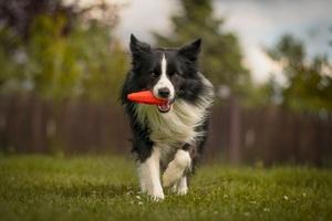 Pes je takové věčné dítě, když si hraje, má největší radost.
