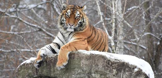 Mladá tygřice ussurijská z hodonínské zoo.