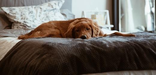 Pes v posteli.