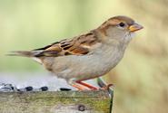 Podle nového sčítání je na světě asi 50 miliard ptáků, nejvíc je vrabců