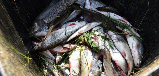 Likvidace uhynulých ryb po ekologické havárii na řece Bečvě.