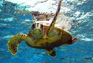 Mladé mořské želvy polykají plasty kvůli evoluční pasti, uvádí studie
