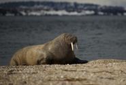 Zatoulaný mrož, který způsobil chaos u britského pobřeží, míří zpátky na sever