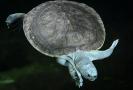 Devět mláďat nejohroženější sladkovodní želvy světa mohou návštěvníci pražské zoologické zahradě od 5. srpna 2021 pozorovat v tamním pavilonu Čambal. Želvy batagury bengálské trojská zoo vystavuje jako jediná veřejně přístupná instituce mimo Asii. Mláďatům je nyní pět let, dožijí se asi sta.