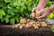 Slevové prodejní akce brambor nás poškozují, tvrdí zemědělci