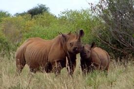 Nosorožci bývají častým cílem pytláků.