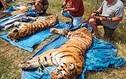 Dva tygři a jeden lev utekli minulý týden z klece v Bioparku Štít na Královéhradecku.