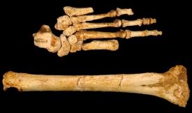 Srovnání holenní kosti a chodidla jedince druhu Homo floresiensis.