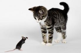 Myš nakažená toxoplasmou reaguje pomaleji a snadno se nechá sežrat.