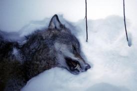 Za jediný den ulovili Švédi 23 vlků.