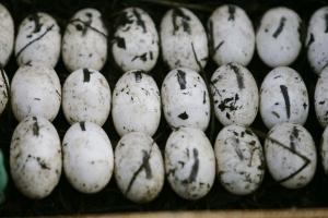 Jedno vejce za 12 dolarů. Dohromady milionový byznys.