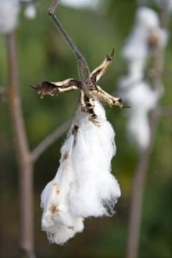 Bavlna před zpracováním.