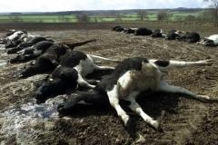 Likvidace dobytka v Británii v roce 2002.