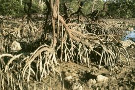 Mangorvy - specifický ekosystém, v němž se mísí slaná a sladká voda.