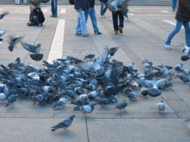 Nová vyhláška zakazuje i krmení holubů.