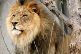 Lev je opravdu králem zvířat.