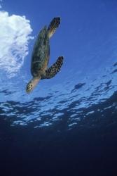 Potápění k želvám na Seychelách.