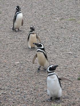 Tučňáci v Patagonii.