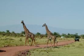 Žirafy jsou turisty velmi vyhledávaným objektem.